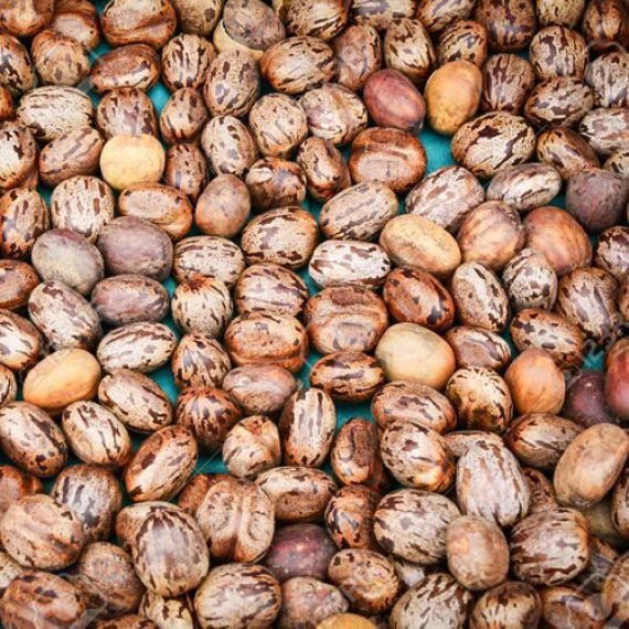 Aamanakku Vithai / Castor Seeds / ஆமணக்கு விதை