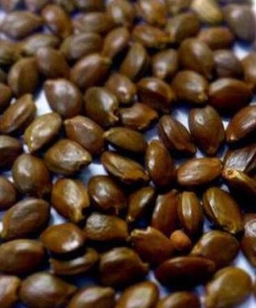 Magilam Vithai / Spanish cherry Seeds / மகிழம் விதை