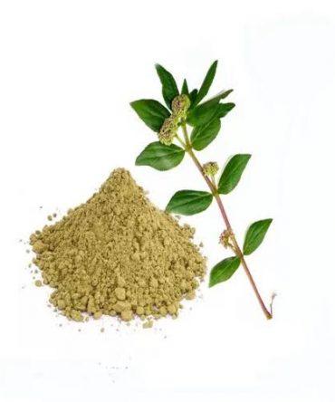 Amman Pacharisi(Powder) / Snake Weed Powder/அம்மன் பச்சரிசி