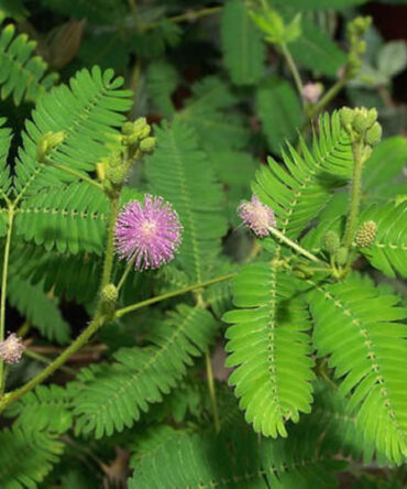 Thotta Sinungi (Powder)/ Sensitive Plant / Sleepy Plant Powder / தொட்டாசிணுங்கி