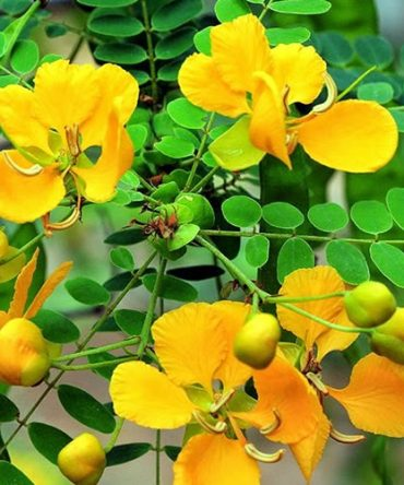 Aavarai Powder / Matura Tea Tree Powder/ஆவாரை