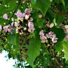 Punga Poo (Podi) / Punga Oil Tree Flower Powder/ புங்கன் பூ