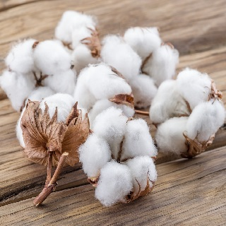 Paruthi / common cotton Dried (Raw) / பருத்தி
