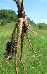Thuluk Root / Wild Parsnip Root (Raw) / பார்ஸ்னிப் ரூட்