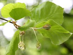 Punga Poo Dried / Dried punga oil tree flower / புங்க பூ