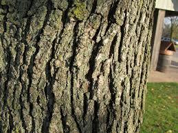 Vilamarathu Pattai / Wood Apple Tree Bark (Raw) / விளாமரத்து பட்டை