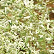 Poola Poo / Mountain Knot Grass Flower (Raw) / சிறுபீளை