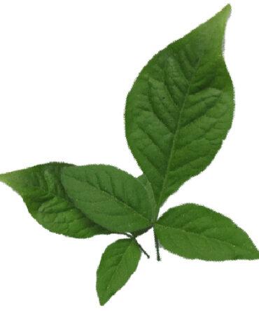 Vilvam ilai (Powder) / Bael Leaves Powder/ வில்வ இலை பொடி