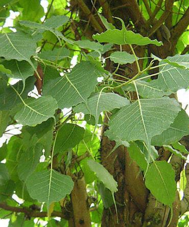 Arasa ilai Powder/ Peepal Tree/ Sacred Fig Leaf Powder/அரச இலை பொடி