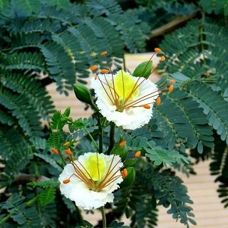 Vadhanarayanan (Powder) / White Gulmohar Powder / வாத நாராயணன்
