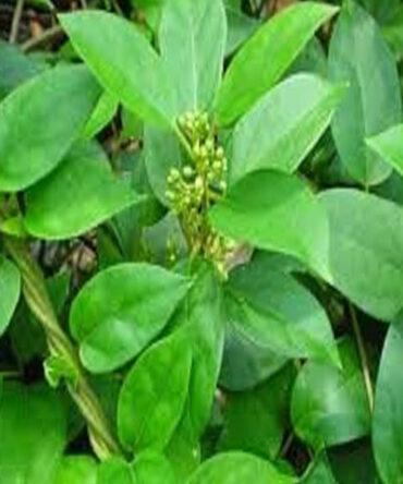 Sirukurinjan (Powder) / Cowplant Powder / சிறுகுறிஞ்சான்