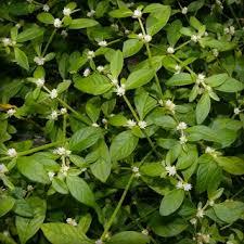 Ponnanganni / Dwarf Copper Leaf / Sessile Joyweed Powder / பொன்னாங்கண்ணி