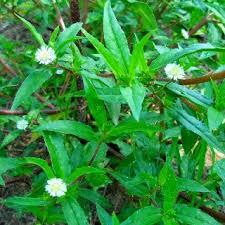 Vellai Karisalanganni(Podi) / False Daicy Powder White / கரிசலாங்கண்ணி