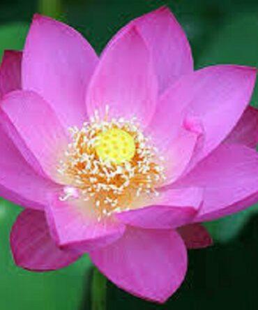 Thamarai (Powder) / Indian Lotus Powder / தாமரை